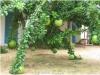 بذر درختچه calabash tree