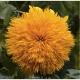 بذر آفتابگردان عروسکی teddy bear sunflower