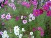 بذر گل شاه اشرفی cosmos bipinnatus