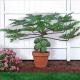 بذرپاپایا خربزه درختی papaya